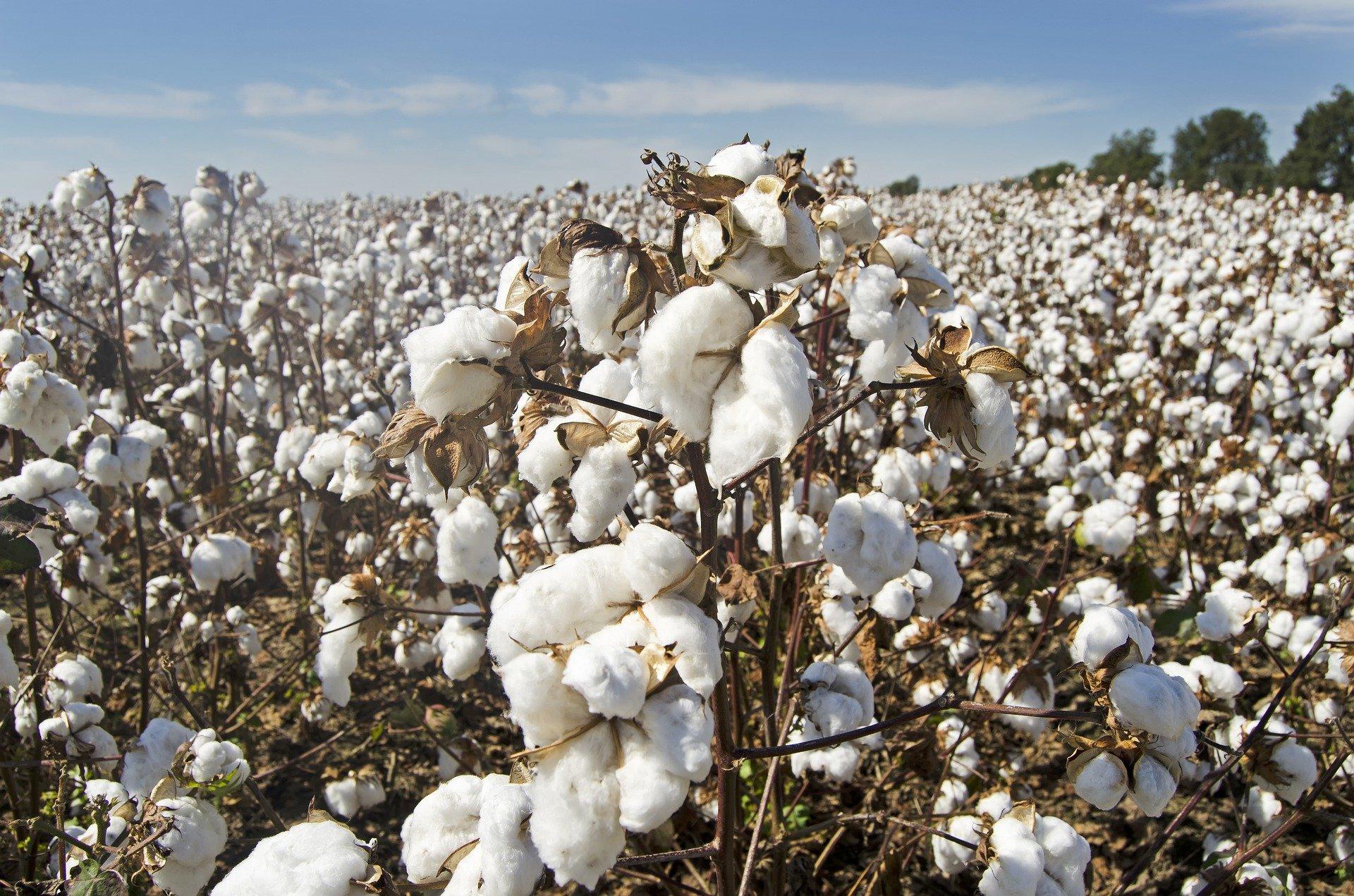 Plantação de algodão. Foto: Jim Black / Pixabay